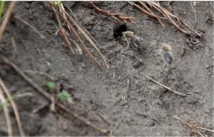 Борьба с земляными пчелами