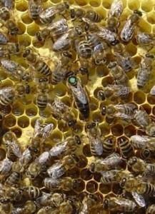 Карпатская порода пчел