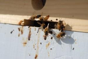 Пчела нозематоз