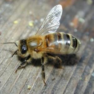 Пчела больная акарапидозом