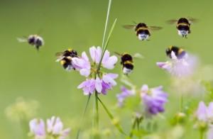 Пчелы у цветов