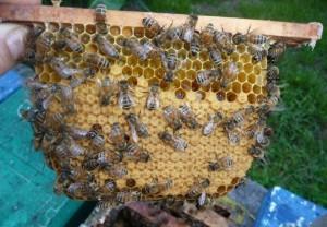Рой среднерусских пчел
