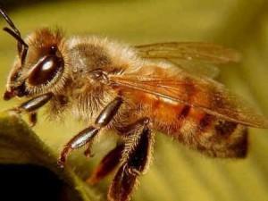 Африканский вид пчел