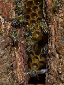 Гнездо дикой пчелы