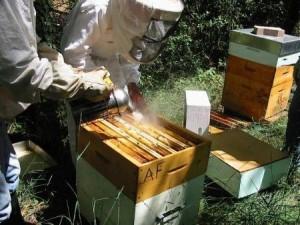 Варроатоз пчёл и лечение пчёл от варроатоза
