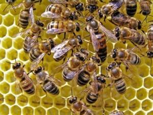Новые пчелиные семьи
