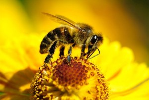 Пчелиный яд