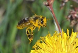 Пчелы опыляют