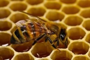 Все о пчелах