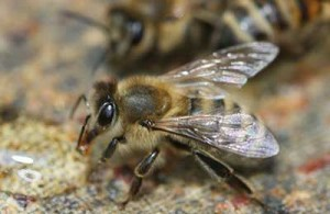 Серая горная пчела