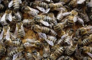 Серые горные пчёлы