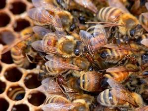 Варроа пчела