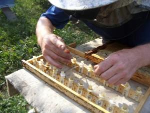 Выращивание маток пчел