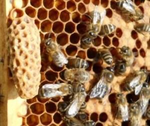 Выращивание пчелиных матки