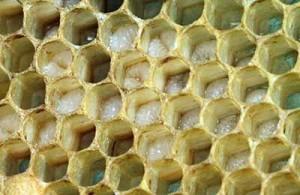 Яйца пчел в улье