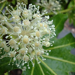 Аралий растение
