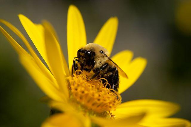 Сбор пчелиной пыльцы