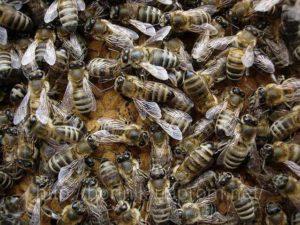 Размножение – только естественными роями