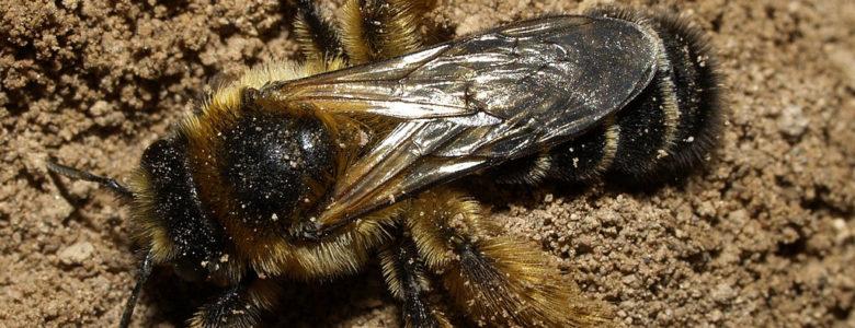 Земляные пчёлы
