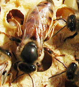 Картинки по запросу фото пчел бакфаст